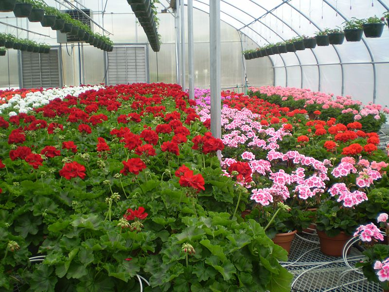 Blooming Plants Wholesale