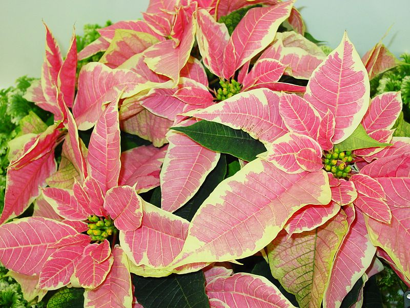 Marble Star Poinsettia