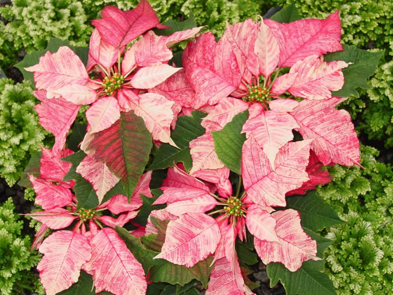 Ruby Frost Poinsettia