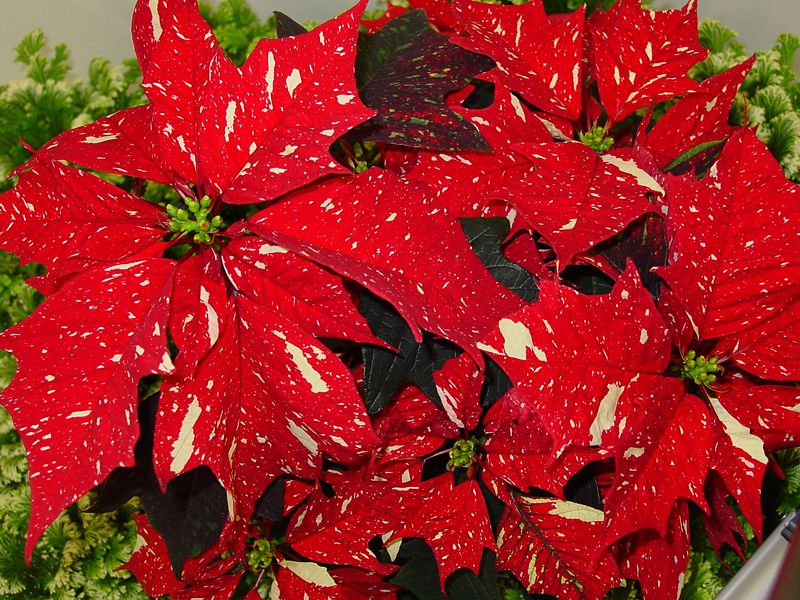 White Glitter Poinsettia