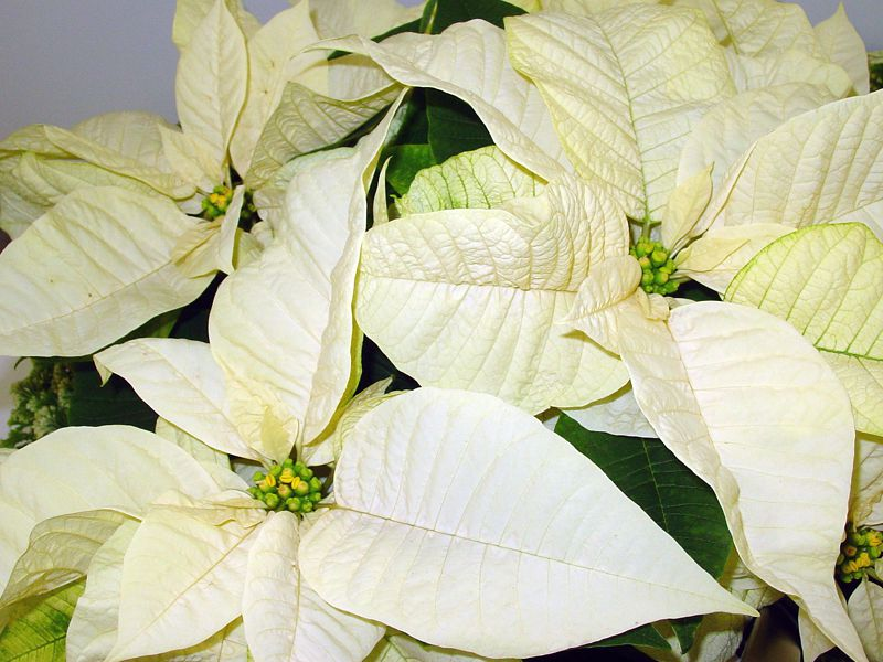 White Star Poinsettia