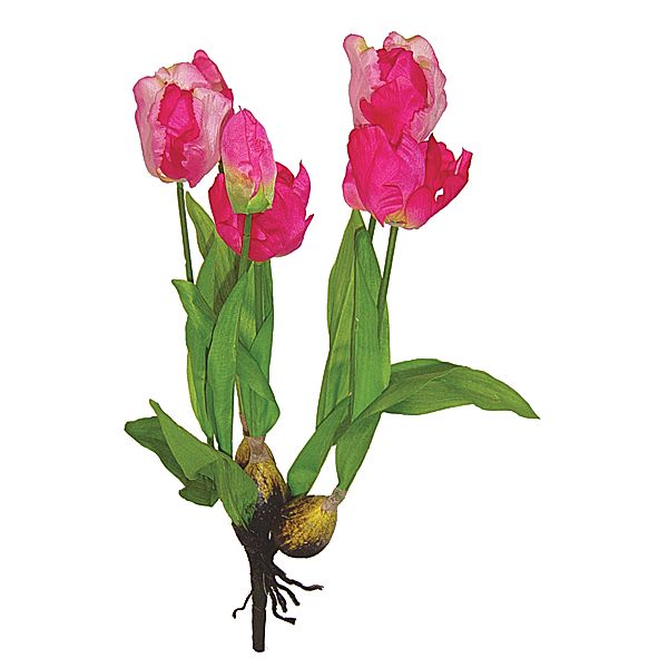 19in cerise tulip plant x6 with bulbs and natural roots