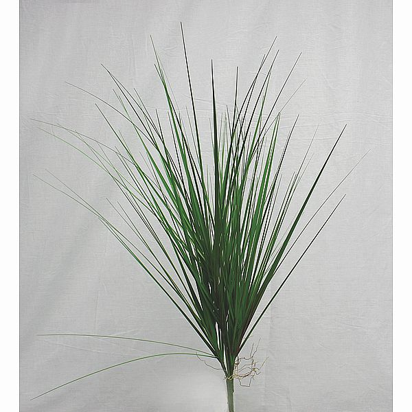 28 in. Green/Burgundy Grass Plant w/Natural Roots