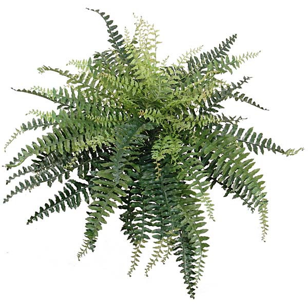 26 in. Boston Fern Plant With 38 in. Dia