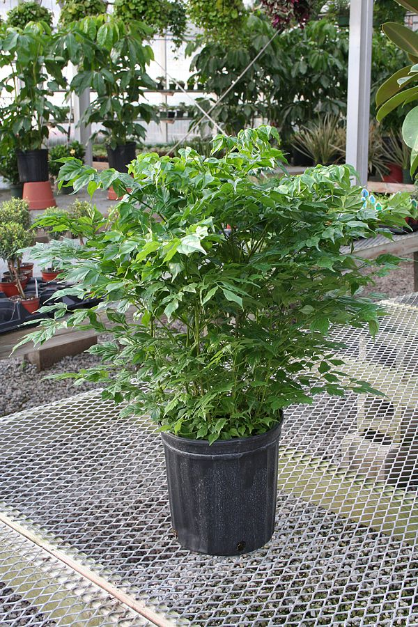 Picture of Live China Doll aka Radermachera sinica Foliage Plant Fit 6in Pot