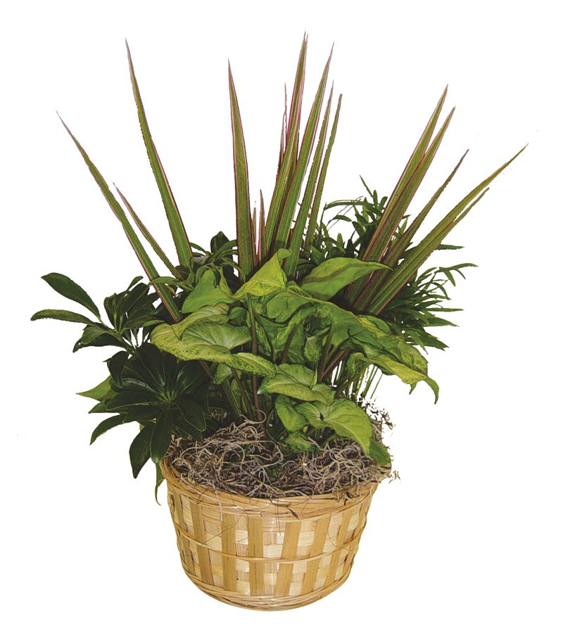 Wholesale Plants 6 Inch Dish Gardens Rjcarbone Com