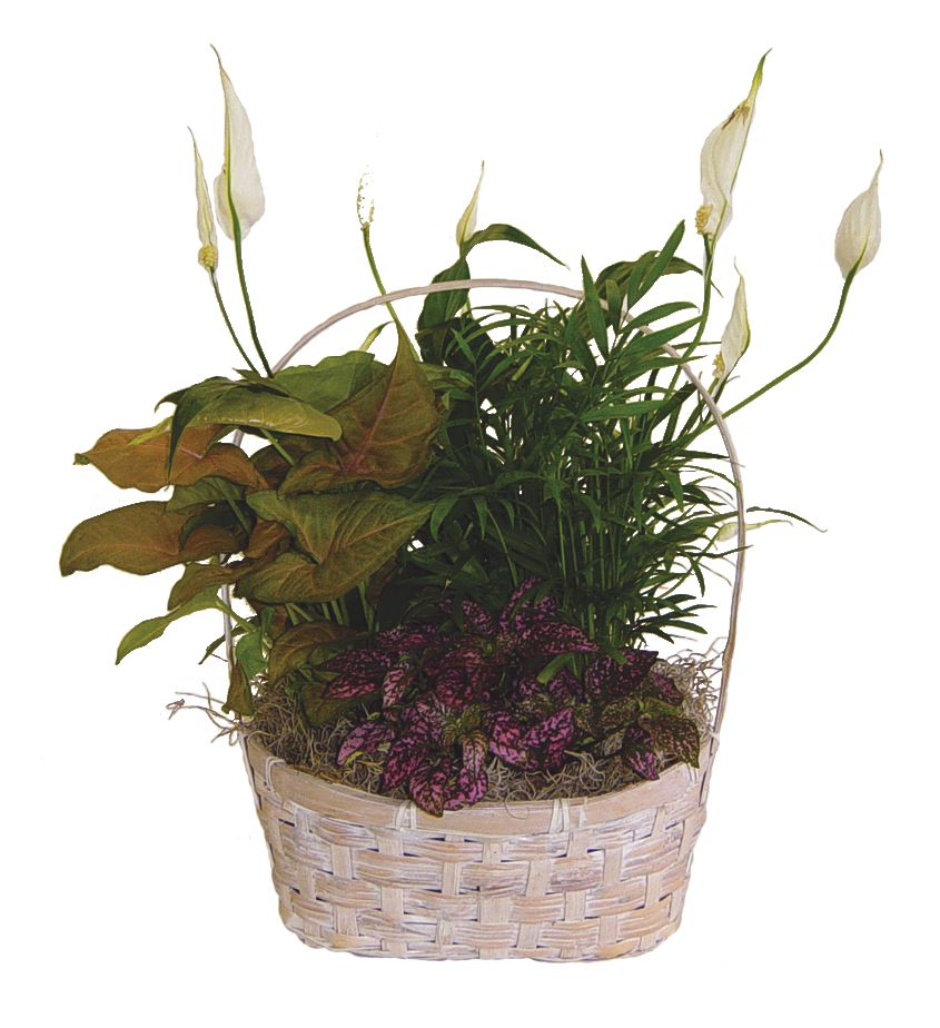 Wholesale Plants 8 Inch Dish Gardens Rjcarbone Com